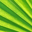 Stock Photo: Palm leaf texture