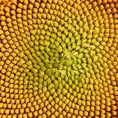 Sunflower macro shot — Stock Photo