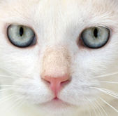 White cat with blue eyes portrait — Stock Photo