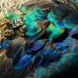 Colorful peacock feathers — Stock Photo