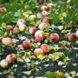 Stock Photo: Apples on ground during autumn season