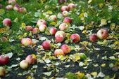 Apples on ground during autumn season — Stock Photo
