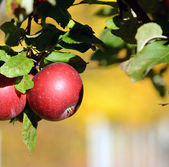 Red apple on tree — Stock Photo