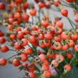 Stock Photo: Branch of pomegranate tree