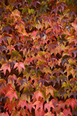 Colorful ivy on the wall in autumn — Stock Photo