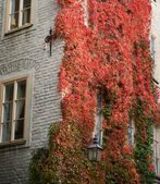 Colorful ivy on the wall in autumn — Stok fotoğraf