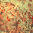 Autumn rowan tree — Stockfoto