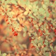 Autumn rowan tree — Stock fotografie
