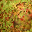 Autumn rowan tree — Stock Photo