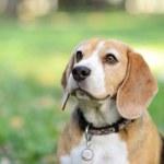 Beautiful Beagle dog portrait outdoors — Stock Photo