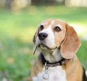 屋外の美しいビーグル犬の肖像画 — ストック写真