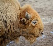 Amerikaanse buffalo — Stockfoto