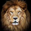 Portrait of huge beautiful male African lion against black backg — Stock Photo
