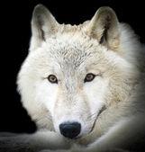 White wolf — Stock Photo