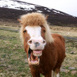 Funny portrait of Icelandic horse — Stock Photo #47732415
