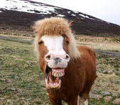 Funny portrait of Icelandic horse — Stock Photo