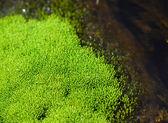 Macro of ulva alga — Stock Photo