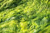 High detailed texture of ulva alga — Stock Photo