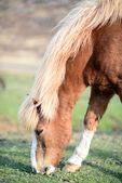 Icelandic horse grazing — Stock Photo
