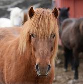 Icelandic horse portrait — Stock Photo