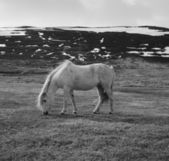 Portrait of Icelandic horse in black and white — Stock Photo