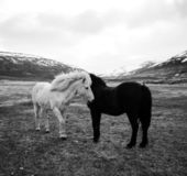 Portrait of Icelandic horses in black and white — Stock fotografie