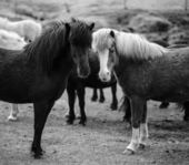 Portrait of Icelandic horses in black and white — Stock Photo