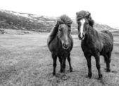 Two beautiful Icelandic horses — Stock Photo