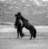 Two horses fighting — Stock Photo