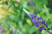 Close-up of a wild perennial pink lupins plant — Stock Photo