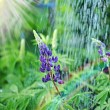 Lupine wild flower in the rain — Stock Photo
