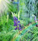 Lupine wild flower in the rain — Stock Photo