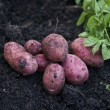 Stock Photo: Fresh potatoes on field