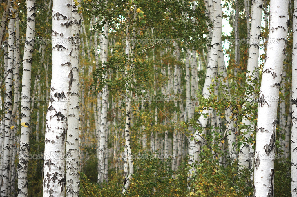 Beautiful landscape in autumn birch grove  — Stock Photo #12844606