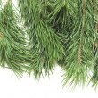 Close up of fir tree branch on white — Stock Photo #13165305