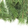 Close up of fir tree branch on white — Stock Photo