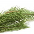 Evergreen fir tree branch on a white  — Stock Photo