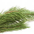 Evergreen fir tree branch on a white  — Stockfoto