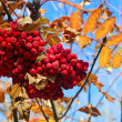Autumn berries on a background of blue sky — Zdjęcie stockowe