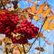 Autumn berries on a background of blue sky - Stockfoto