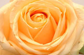 Yellow rose flower as close up — Stock Photo