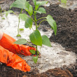 Hands planting pepper seedlings into the ground — Stock Photo