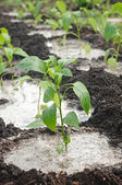 Pepper seedling on a bed — Stock Photo