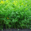 Young green leaves of growing carrot in vegetable garden  — Stock Photo