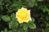Yellow flower rose — Stock Photo