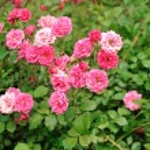 Rose bush — Stock Photo #27841313