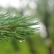 A young fir tree branch with lot of raindrops — Stock Photo
