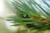 Coniferous tree branch with water drops — Stock Photo