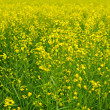 Stock Photo: Yellow rapeseed field