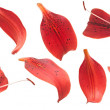 Collection red lilies petals isolated on white — Stock Photo